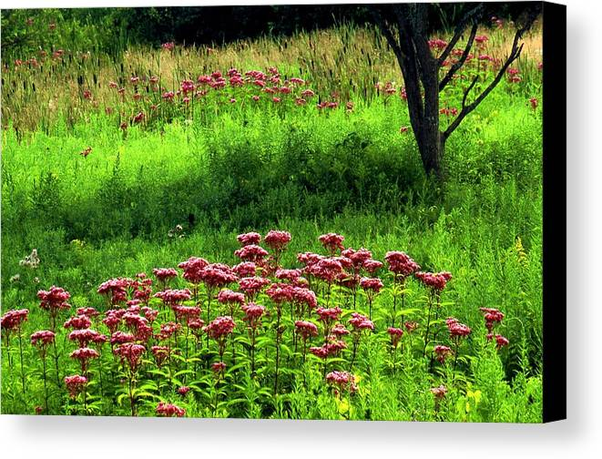 Wildflowers Canvas Print featuring the photograph Joe Pye Weed by Roger Soule