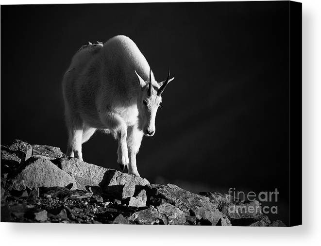 Mountain Goats Canvas Print featuring the photograph Flight From Darkness by Jim Garrison