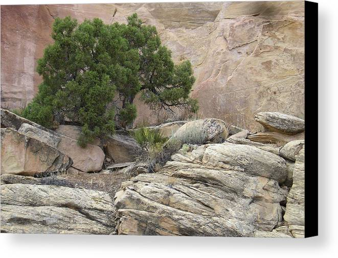 Tree Canvas Print featuring the photograph Juniper by Ellen Leigh