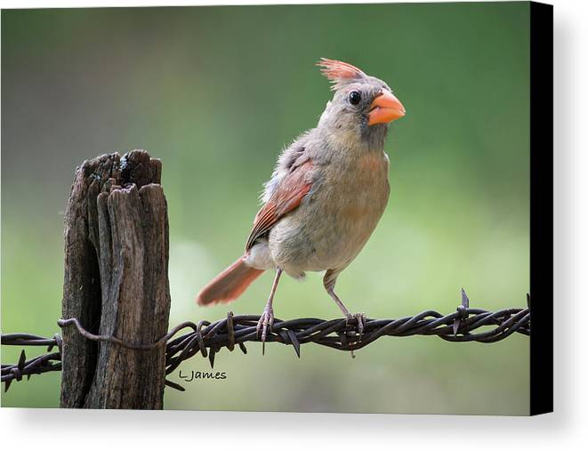 Birds Canvas Print featuring the photograph Juvenile Northern Cardinal by Larry Pacey