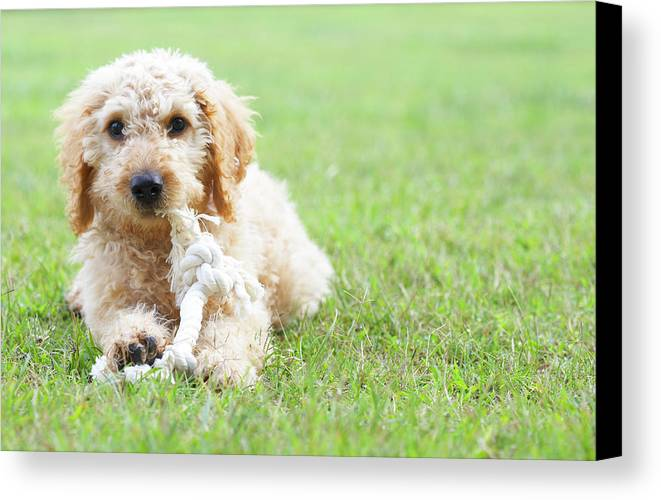 Horizontal Canvas Print featuring the photograph Labradoodle Puppy In Grass by American Images Inc