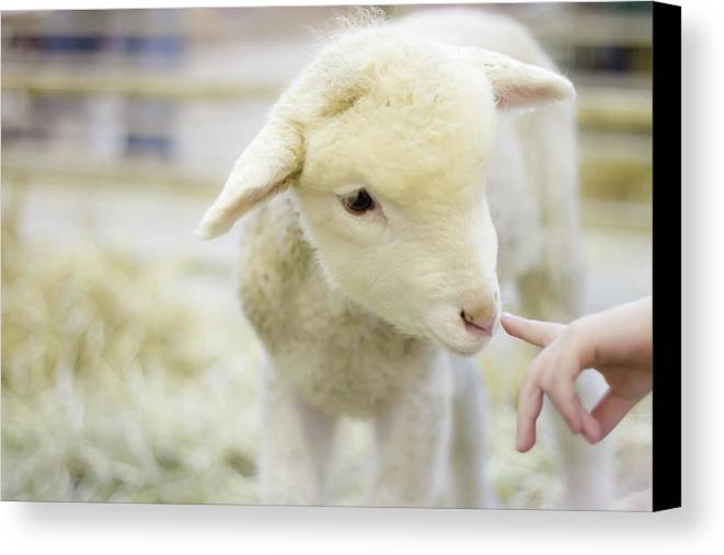 Child Canvas Print featuring the photograph Lamb At Denver Stock Show by Anda Stavri Photography