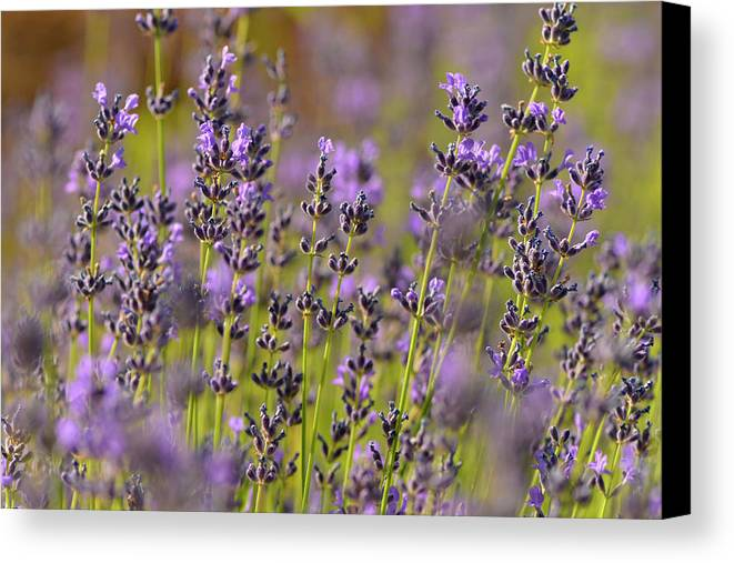 Lavender Canvas Print featuring the photograph Lavender by Dean Hueber