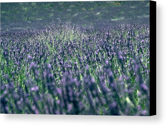 Lavender Canvas Print featuring the photograph Lavender by Flavia Westerwelle