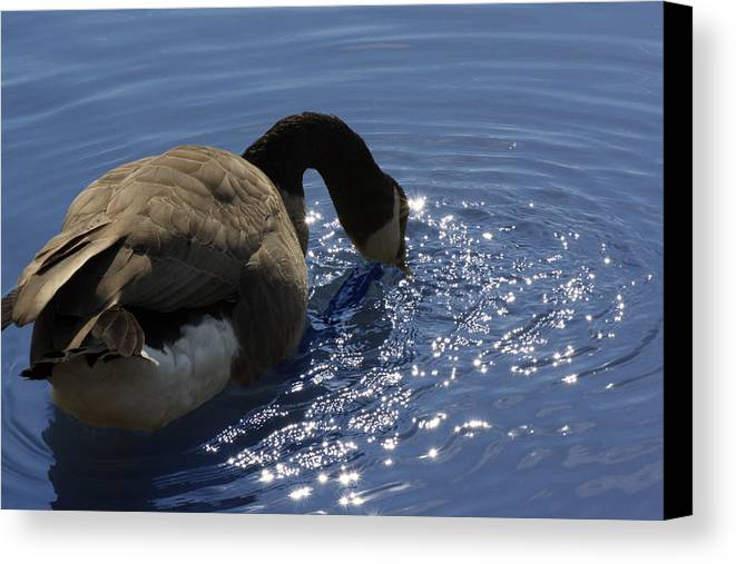 Canada Goose Canvas Print featuring the photograph Leisure Time by Cathy Beharriell