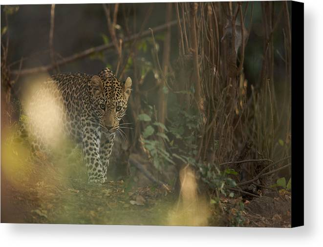 Africa Canvas Print featuring the photograph Leopard Comes Out Of The Bush by Johan Elzenga