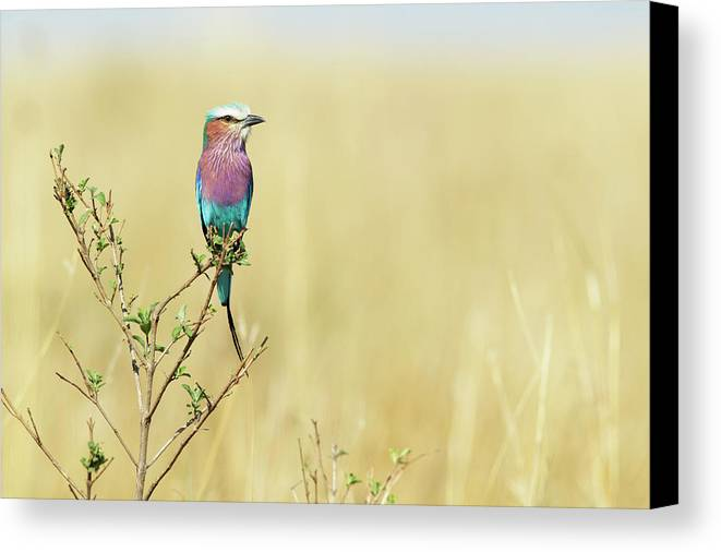 Horizontal Canvas Print featuring the photograph Lilac-breasted Roller (coracias Caudata) by Elliott Neep