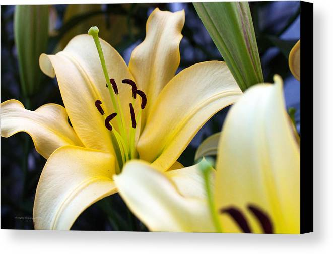 Lily Canvas Print featuring the photograph Lily Splendor by Edward Congdon