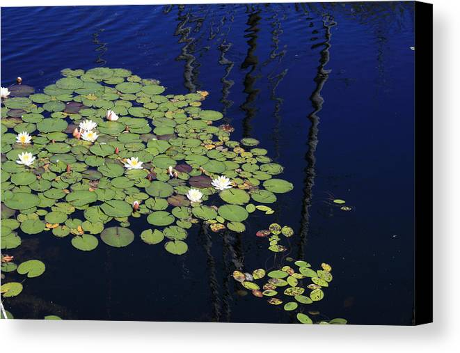 Lilypads Canvas Print featuring the photograph Lily Worlds One by Alan Rutherford