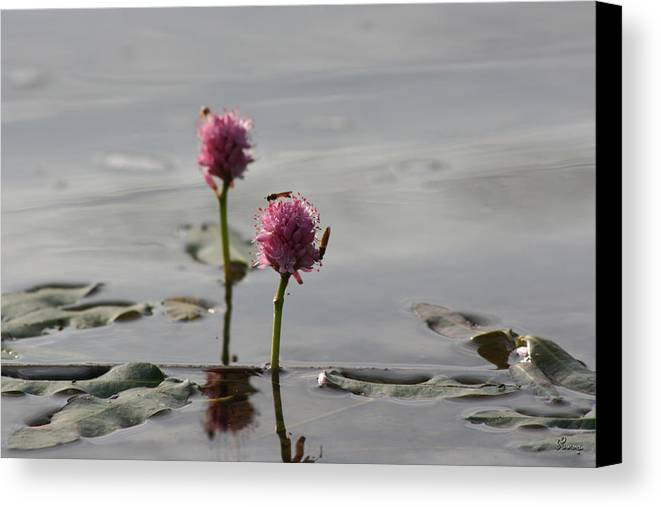 Wasp Lilypads Water Lake Plants Nature Wild Bugs Pink Flower Canvas Print featuring the photograph Lilypads And Wasps by Andrea Lawrence
