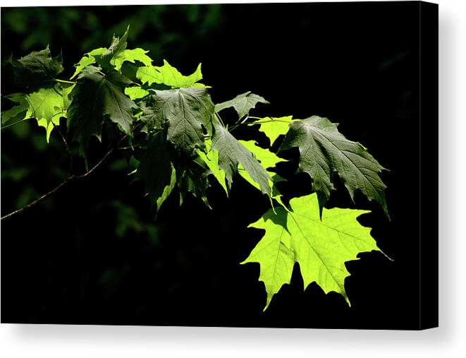 Summer Canvas Print featuring the photograph Limelighted Maples by Irwin Barrett