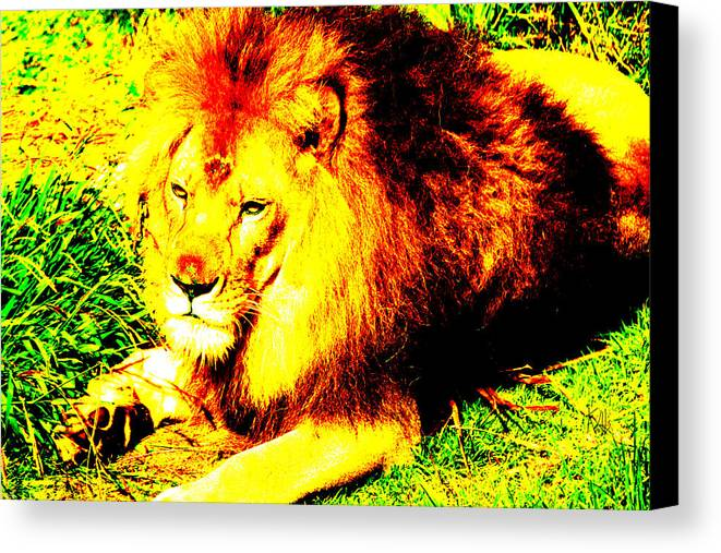 Lion Canvas Print featuring the photograph Lion Of Judah by Ken Volok