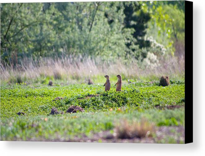 Prairie Dogs Canvas Print featuring the photograph Little Bastards by Sam Neumann