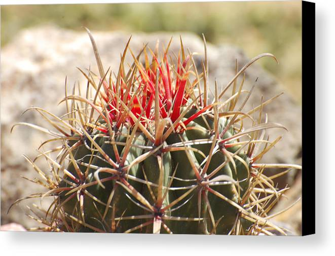 Cactus Canvas Print featuring the photograph Little Cactus by Jean Booth