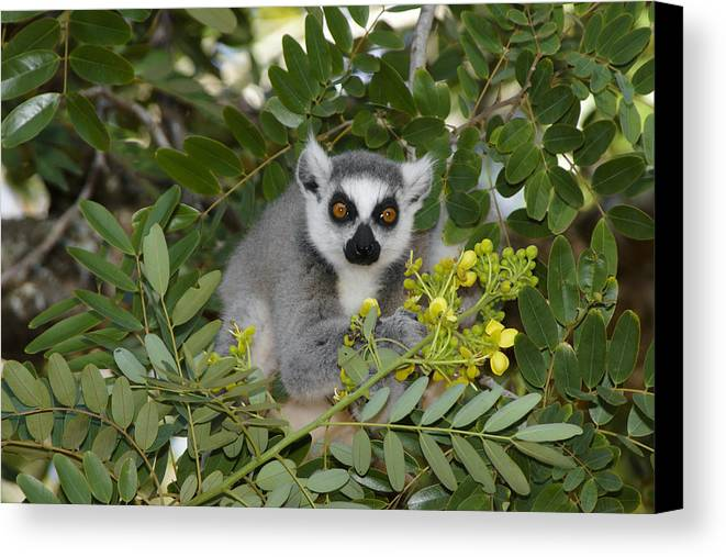 Madagascar Canvas Print featuring the photograph Little Ring-tailed Lemur by Michele Burgess