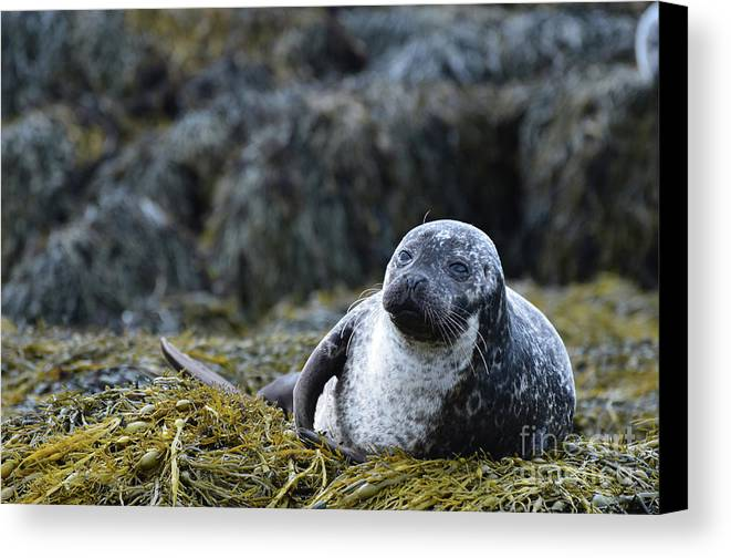 Seal Canvas Print featuring the photograph Loch Dunvegan's Harbor Seal by DejaVu Designs