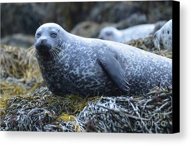 Seal Canvas Print featuring the photograph Long Whiskers On A Harbor Seal by DejaVu Designs
