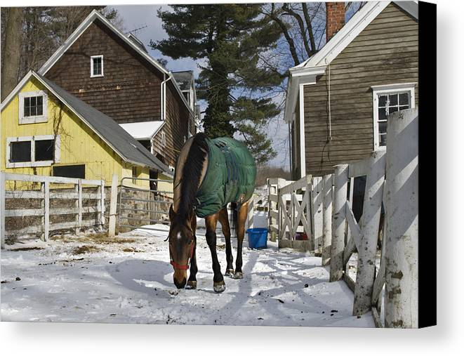 Horse Canvas Print featuring the photograph Looking For Stray Hay by Jack Goldberg