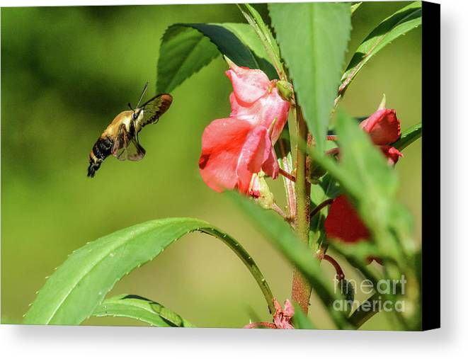Hummingbird Moth Canvas Print featuring the photograph Looking Good by Tammy Hyatt