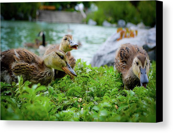 Ducks Canvas Print featuring the photograph Lunch Break by Silver Rose Photography