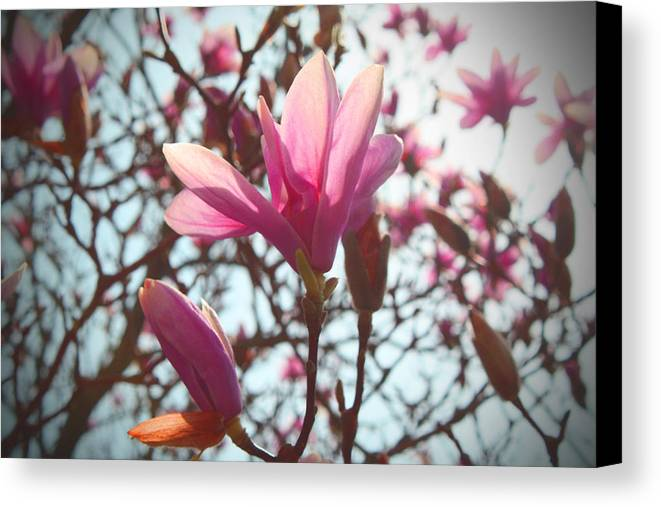 Spring Canvas Print featuring the photograph Magnolia Blossoms by Deborah Napelitano
