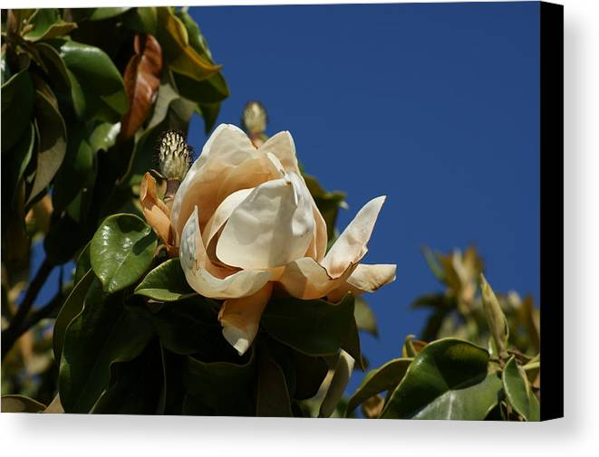 Magnolia Canvas Print featuring the photograph Magnolia by Liz Vernand