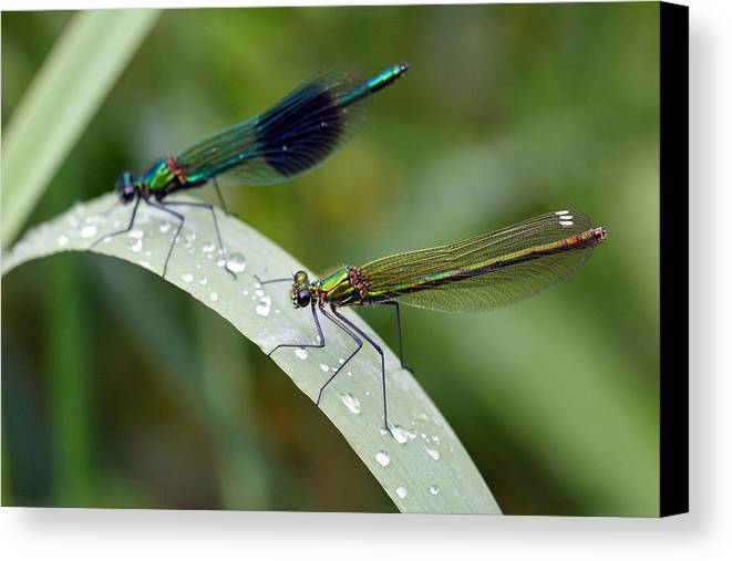 Damsel Fly Canvas Print featuring the photograph Male And Female Damsel Fly by Pierre Leclerc Photography