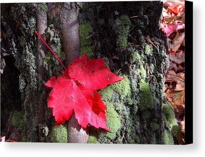 Red Maple Canvas Print featuring the photograph Maple Leaf Still Life by Charles Warren