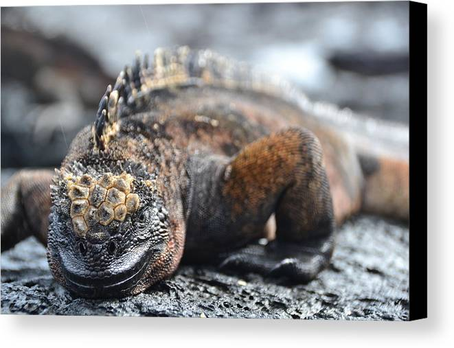 Galapagos Canvas Print featuring the photograph Marine Iguana by Harry Coburn