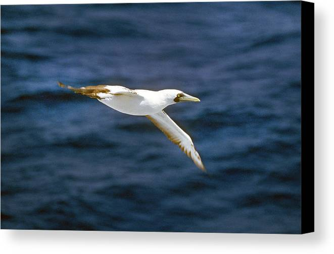 Masked Booby Canvas Print featuring the photograph Masked Booby by Buddy Mays