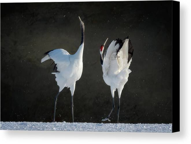 Red-crowned Cranes Canvas Print featuring the photograph Mating Dance by Cheryl J Schneider