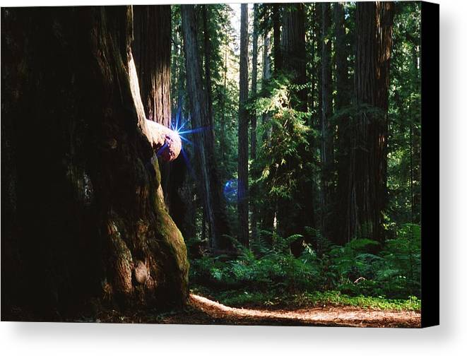 Montgomery Woods Canvas Print featuring the photograph Montgomery Woods Burl by Steven Wirth
