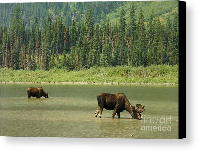 Glacier National Park Canvas Print featuring the photograph Moose by Marc Bittan