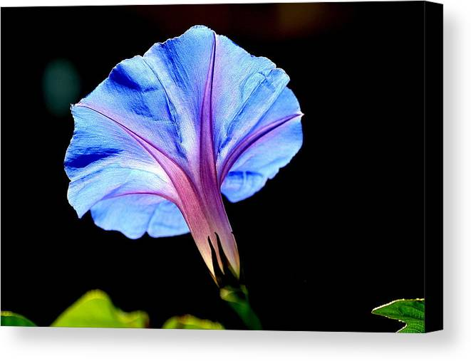 Morning Glory Canvas Print featuring the photograph Morning Glory by Kerry Reed