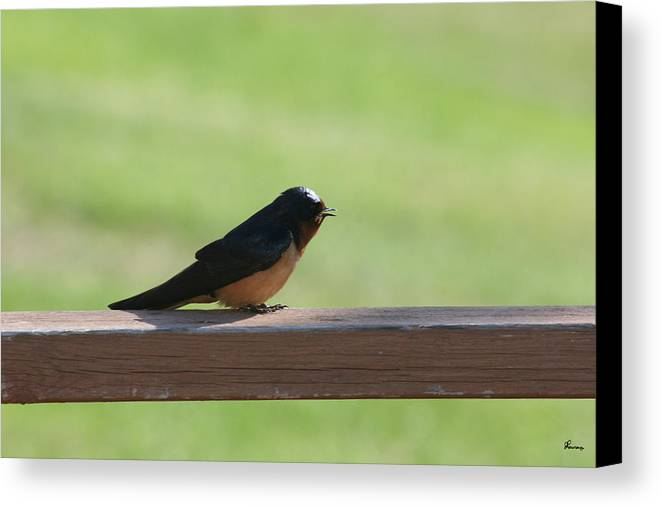 Barn Swallow Nesting Bird Singing Nature Wild Canvas Print featuring the photograph Morning Song by Andrea Lawrence