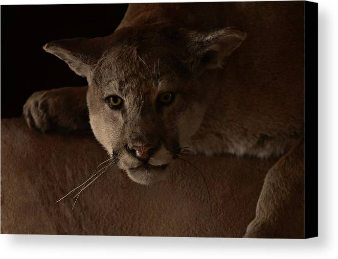 Cougar Canvas Print featuring the photograph Mountain Lion A Large Graceful Cat by Christine Till