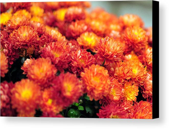 Mums Fall October Canvas Print featuring the photograph Mum by Brian Foxx