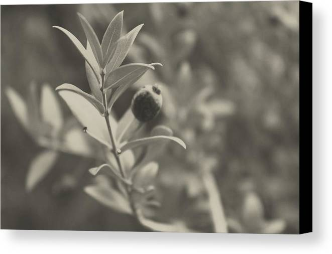 Nature Canvas Print featuring the photograph Muted Beauty 3 by Sarah Jane Thompson