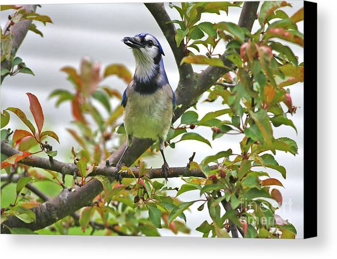 Bluejay Canvas Print featuring the photograph My Reward by Deborah Benoit