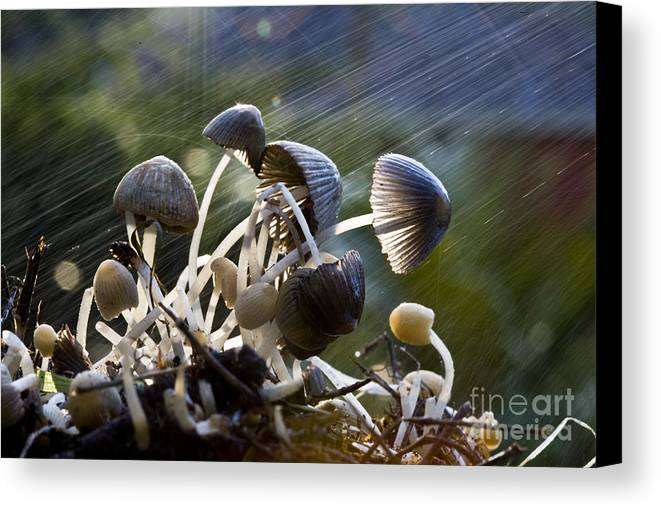 Mushrooms Rain Showers Umbrellas Nature Fungi Canvas Print featuring the photograph Nature by Sheila Smart Fine Art Photography