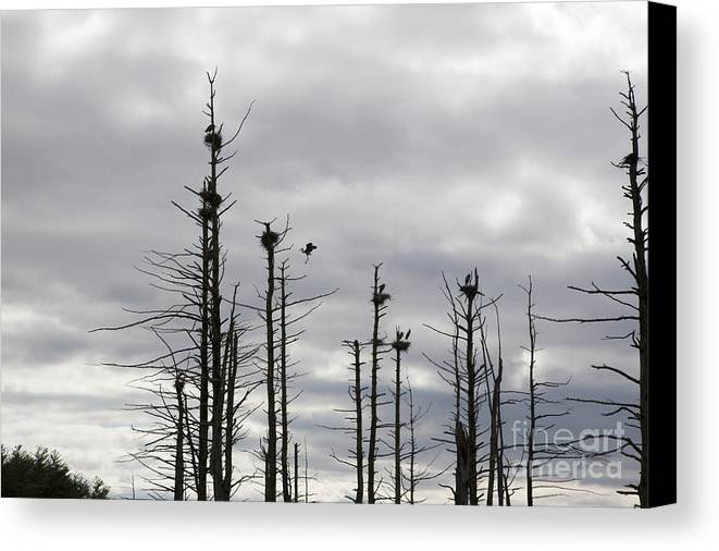 Wildlife Canvas Print featuring the photograph Nesting Blue Herons by Erin Paul Donovan