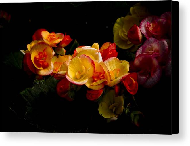 Begonia Canvas Print featuring the photograph Night Begonias Two by John Ater