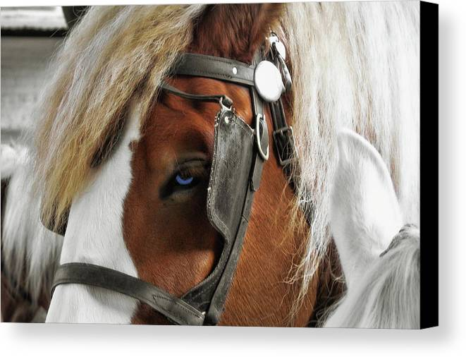 Horse Canvas Print featuring the photograph Old Blue Eyes Savannah by JAMART Photography