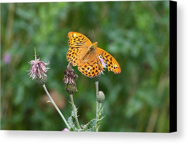 Butterfly Canvas Print featuring the photograph Orange Butterfly by Pierre Leclerc Photography