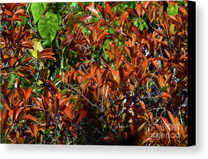 Orange Leaves Canvas Print featuring the photograph Orange Leaves by William Tasker