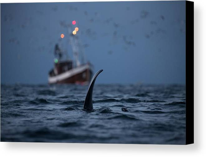 Whale Canvas Print featuring the photograph Orca #1 by Alfred Lucas