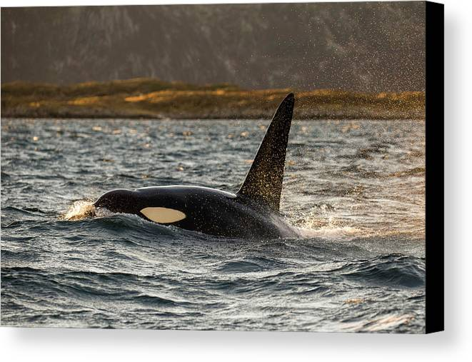 Whales Canvas Print featuring the photograph Orca #3 by Alfred Lucas