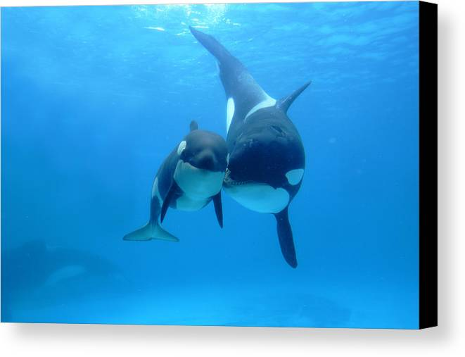 Mp Canvas Print featuring the photograph Orca Orcinus Orca Mother And Newborn by Hiroya Minakuchi