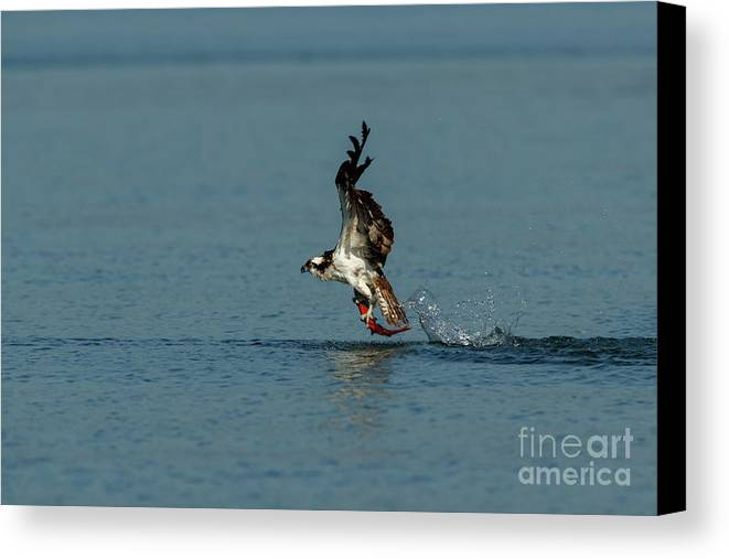 Fish Canvas Print featuring the photograph Osprey 1 - Fish 0 by Beve Brown-Clark Photography