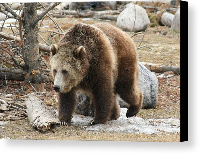 Wildlife Canvas Print featuring the photograph Out From The Den by Scott Bailey